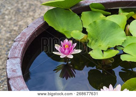 Pink Lily On A Pond In Green Leaves. Nature. Background.lily Flowers Blooming On Pond.
