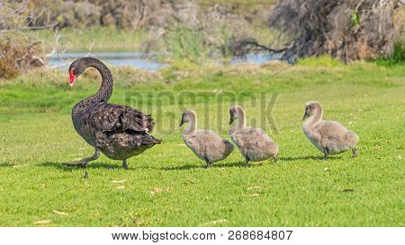 A Black Swan With Three Cygnets Walking In Line Across The Grass At Herdsman Lake In Perth, Western