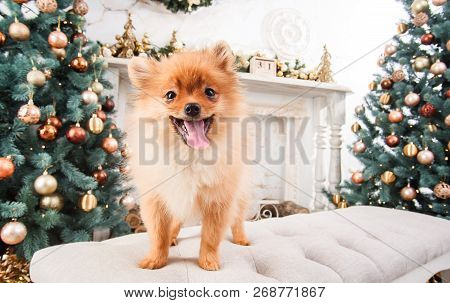 Small Cute Funny Pomeranian Dog Sitting At Sofa On Christmas Tree Background