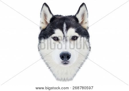 One Siberian Husky Dog Face. Close Up Husky Breed Portrait. Husky Dog Has Black And White Fur Color.