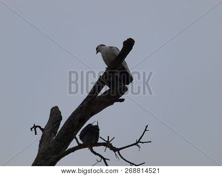 A White Pigeon Sits On Top Of A Barren Tree Limb. The Silhouette Was Amplified With This Pigeon Bein