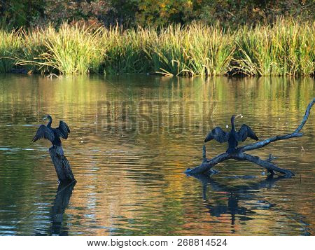 Cormorants In Migration Dry Their Feathers After An Early Morning Fishing. The Sun Had Just Barely M