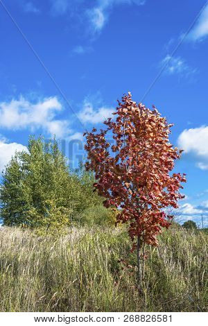 Young Red Maple On A Background Of Green Trees And Blue Sky.
