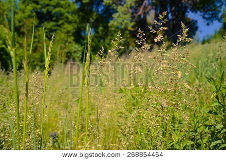 Meadow Buttercup In A Meadow At Spring