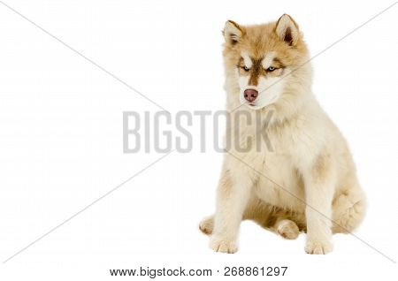 One Puppy Of Siberian Husky Dog With Blue Eyes Looks Around. Chusky Breed Full-body Shot. Husky Dog