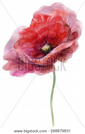 Watercolor Poppy. The Flower Clipart Isolated On A White Background. Hand Painted Illustration For D