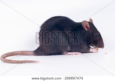 Gray Rat Eating Dry Food On White Background