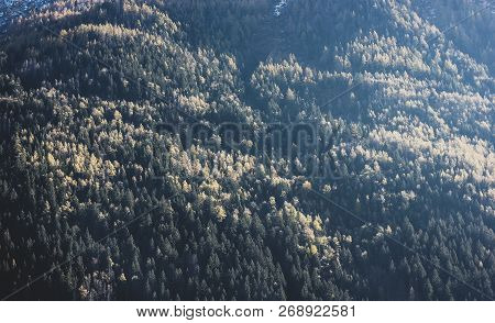 Sunny Autumn Coniferous Trees Background. Beautiful Forest Landscape Of The Alps, Chamonix, France