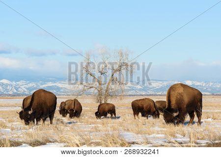 Herd Of Genetically Pure Wild Bison In Colorado