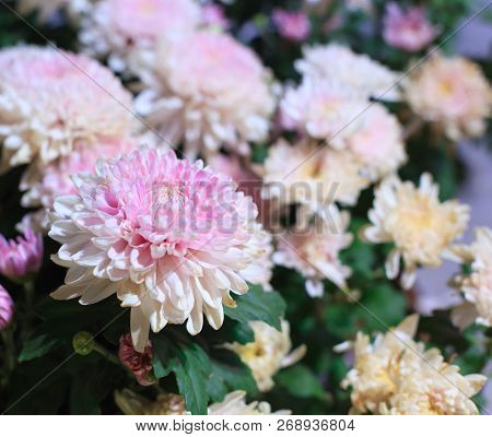 Beautiful Pink And White Blossoming Chrysanthemum Flowers As Background Picture. Chrysanthemum In Bl