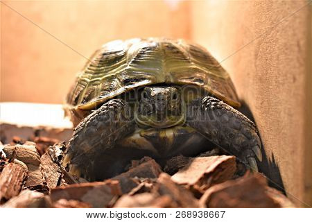 Cute Little Pet Central Asian Tortoise On The Floor In The House