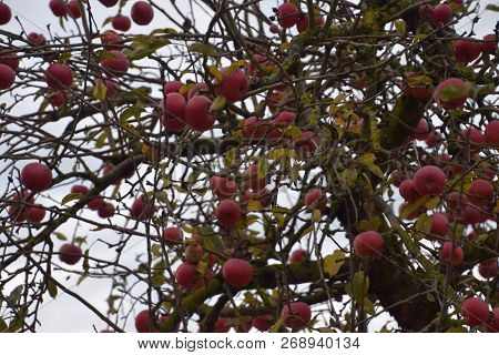 Old Apple Tree With Many Ripe Apples And Bare Branches, Apple Tree Trunk Overgrown With Lichens And