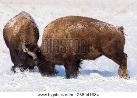 American Bison On The Colorado Plains - Two Bulls Squaring Off.