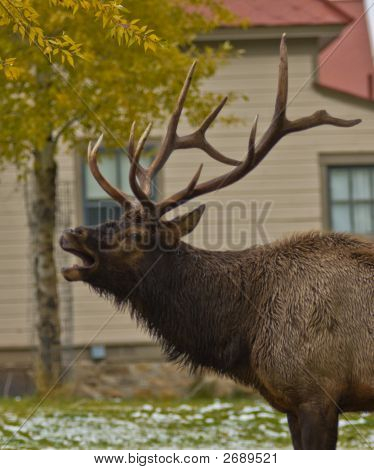 Bugling Bull (Male) Elk, Yellowstone National Park, Wyoming