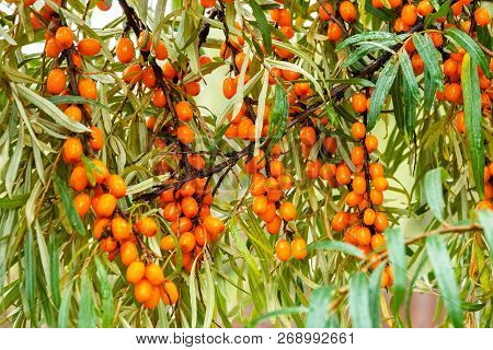 Branch Of Sea Buckthorn In A Garden.sea-buckthorn Oil.vitaminic Healthy Sea Buckthorn Tea. Fresh Raw