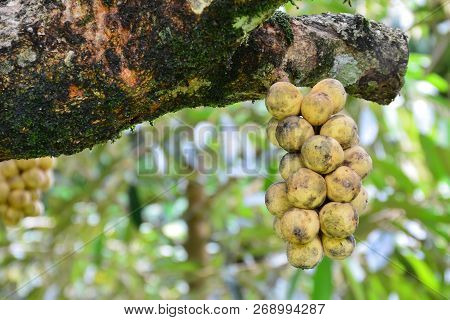 Wollongong Fruit In The Garden With Nature Background,thai Fruit With Delicious Sweet Taste.