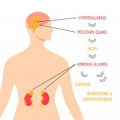 Stress response system. Endocrine medical diagram. Vector infographic in simple flat style. poster