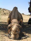 camel on safari near jaiselmer in india poster