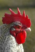 close-up head profile of a farmyard rooster poster