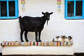Rural scene. Goat and a cat on the bench. Farmhouse. poster