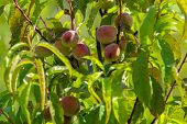 Peaches on tree branch. Unripe peaches on tree. Peaches in garden. Summer fruits in Latvia. Tasty peach on tree in sunny summer orchard. poster