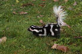 Eastern Spotted Skunk (spilogale Putorius) Runs Left - Captive Animal