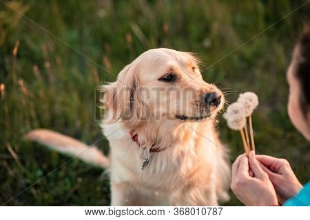 Lovely Female Girl Playing With Her Dog Golden Retriever On Summer Meadow. Cute Dog And His Owner Bl