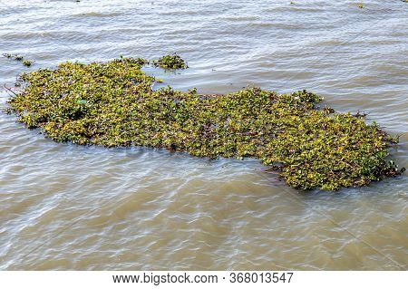 Lake Chapala With Common Water Hyacinth (eichhornia Crassipes) On The Calm Waters, A Very Invasive A
