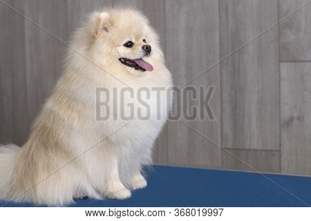 Cute Pomeranian Puppy Dog Looking Right At Camera. Copy Space For Your Text.