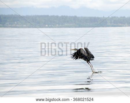 Great Blue Heron Takes Off Near Richland Saltwater Park, Shoreline, Washington