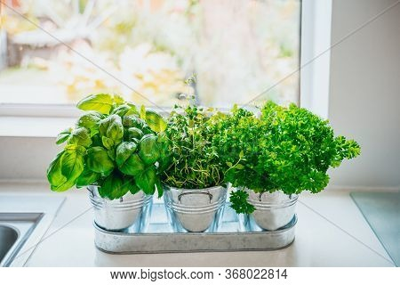 Organic, Homegrown Basil, Parsley And Thyme Herbs In Pots On The Kitchen In Front Of The Window. Hom