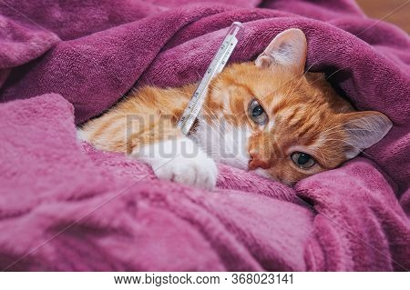 Red Cat Got Sick And Hid In A Warm Blanket.