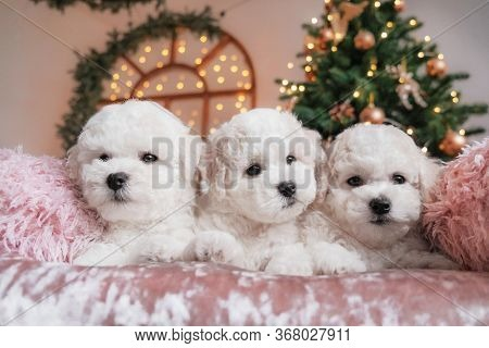 Bichon Frise Puppies On Pink Velvet Blanket With Christmas Tree Lights And Decorations In The Backgr