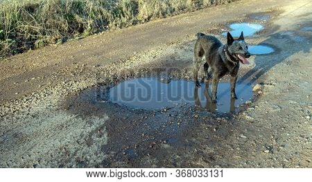 Pot Holes On A Country Road Are Hard On Vehicles, But The Neighborhood Dogs Enjoy Standing In The Pu