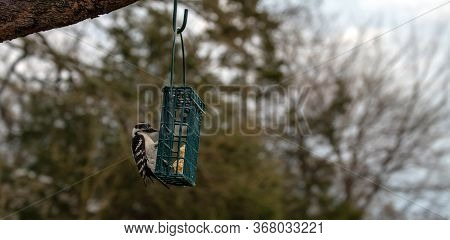 Suet Cakes Are One Of The Favorites For The Little Downy Woodpecker. This One Looks As If He Is Hopi