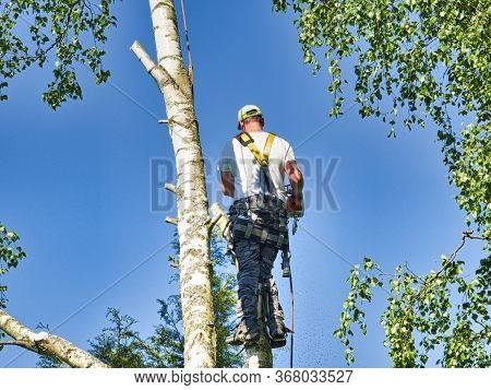 Close-up Mature Professional Male Tree Trimmer High In Top Birch Tree Cutting Branches With Gas Powe