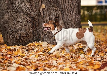 Dog Days Of Autumn. Purebred Jack Russel Terrier Dog Outdoors In The Nature On Grass On A Autumn Day
