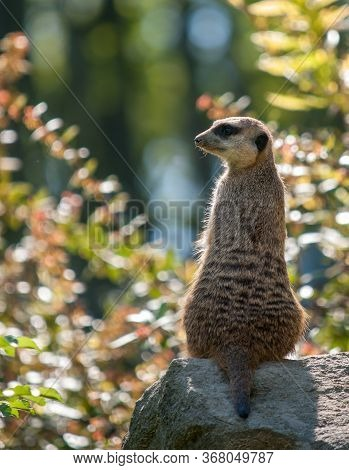 Picture Of The Meerkat Watcher On The Stone