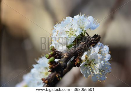 Blooming White Chinese Plum Flower Or Japanese Apricot, Korean Green Plum, East Asia, Is Usually Cal