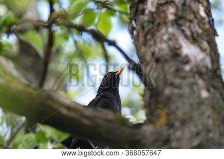 Blackbird Or Turdus Merula In Spring Time Shot In A Tree. Male Blackbird Is Sitting In A Tree.