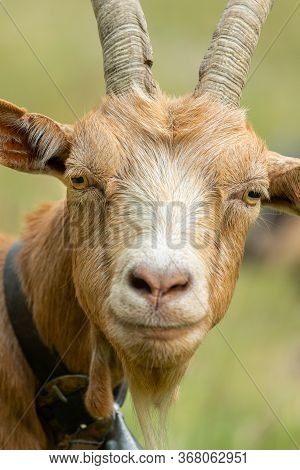 Portrait Of A Beautiful Brown Goat Outside, Sunny Day In Summer, South Tyrol (italy)
