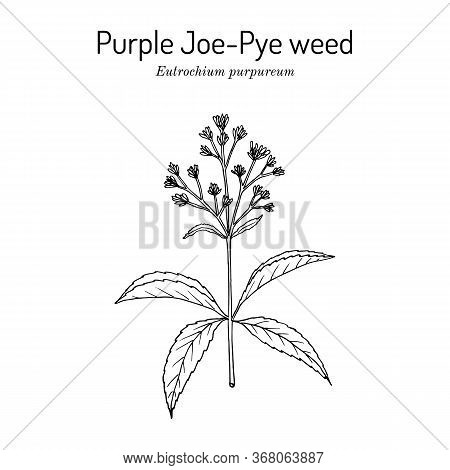 Purple Joe-pye Weed Eutrochium Purpureum , Or Kidney-root, Gravel Root, Medicinal Plant. Hand Drawn