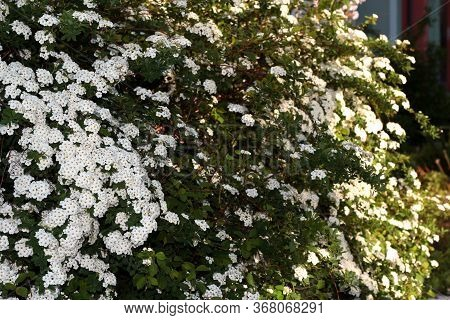 Spiraea Vanhouttei. A Shrub With White Flowers Is Illuminated By The Sun.