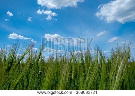 Barley Field With Blue Sky. Green Barley Grain . Growth Of Barley Bread