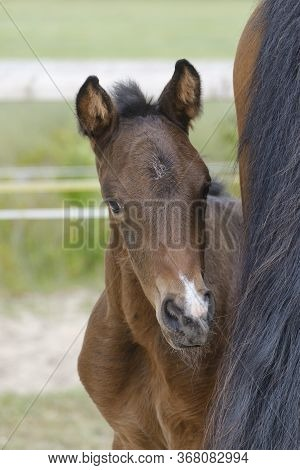 Close-up Of A Little Brown Mare Foal, The Foal Looks From Behind The Mothers Tail