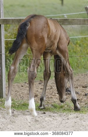 A Little Brown Foal, Mare Foal Standing In Full Body, Seen From The Backside, During The Day With A