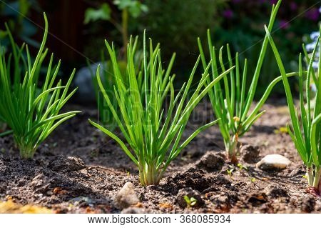 Young Shallot Onion Plants Growing In Spring Garden In Sunny Day