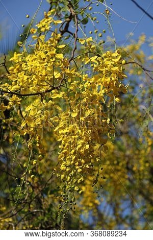 Leaves Of The Golden Shower Tree (cassia Fistula) With Its Fruits In Focus