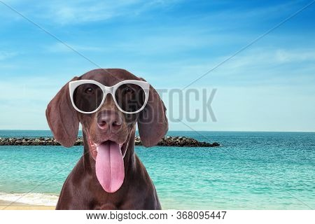 German Shorthaired Pointer Dog With Sunglasses On Sunny Beach