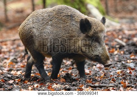 The Wild Boar (sus Scrofa), Also Known As The Wild Swine, Common Wild Pig Or Simply Wild Pig In The